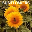 Pick-Your-Own Sunflowers